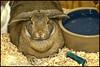 Fatbunn Holds Court (MisterQueue) Tags: brown rabbit bunny saint st zoo louis raw fuzzy stlouis ears saintlouis chubby stl lapin dewlap stlzoo