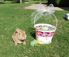 Scooter (tammybeck) Tags: rabbit bunny konijn conejo rex coelho lapin kaninchen 2012 coniglio kani  cwningen  kanin  krlik zec  th iepure kuneho krlk  wwwrescuedrabbitsorg sungura wildrescue coinn