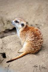Hakuna Matata (KerriNikolePhotography) Tags: animal mammal meerkat nikon sandiego nikkor sandiegozoo zoomlens nikond3000 kerrinikolephotography