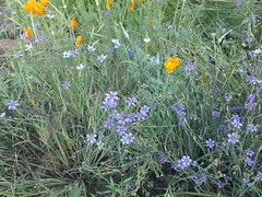 Blue eyed grass and California Poppy (flora-file) Tags: california plants garden tour gardening wildflowers horticulture natives bringingbackthenatives