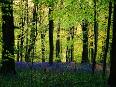 Bluebells at Dawn (algo) Tags: flowers blue trees green bluebells sunrise woodland dawn topf50 springgreen littlestories 50f picswithsoul littlepicswithsoul