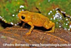 Pumpkin-Toadlet-(Brachycephalus-nodoterga) (Pedro H. Bernardo) Tags: life nature ecology natureza conservation amphibian frog toad sapo biodiversity naturephotography perereca ecologia amphibia biodiversidade fotografiasdenatureza rã anfíbio conservação