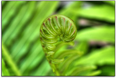 Curled... (scrapping61) Tags: stilllife fern macro expression mygarden legacy 2012 tmi blackrose tistheseason swp greatphotographers vividimagination forgottentreasures artdigital scrapping61 sharingart awardtree tisexcellence covertpainters daarklands sailsevenseas trolledproud trollieexcellence exoticimage earthnaturelove pinnaclephotography poeexcellence modernsclassics digitalartscene netartii