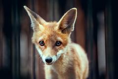 Fox Cub #174/366 (A. Aleksandraviius) Tags: macro ex zoo cub nikon sigma apo ii fox 365 70200 f28 lithuania dg kaunas 70200mm project365 hsm 365days d700 174365 nikond700 3652012