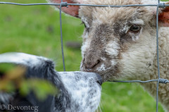 Love at first sight? (devonteg) Tags: garden moss nikon peekaboo may lamb bordercollie odc nosetonose 2013 nikkor105mmf28gvrmicro d7000 stockfence ourdailychallenge bottlefedlamb