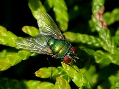 Goldfliege (acmelucky777) Tags: macro nature up animal animals germany insect deutschland tiere foto close wildlife natur insects nrw makro mode insekt 250 tier insekten entomologie fliege fliegen westfalen dcr nordrhein insecta lucilia raynox makroaufnahmen alsdorf 2013 brachycera sericata goldfliege  p1030797 kerbtiere