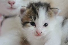 (KerryHanlon) Tags: life cats baby brown white black youth start cat nose eyes kitten feline babies child tabby young mother ears kittens whiskers mum beginning and felines mummy tabbie
