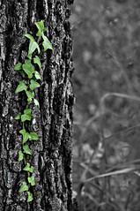 edera... (Claus72) Tags: nature foglie trekking leaf reflex ivy natura piemonte ande edera bergolo nikond90 55200vr altalanga