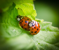 Staying busy. (Omygodtom) Tags: wild summer macro green insect bokeh ladybug existinglight tamron90mm d7000 elitebugs
