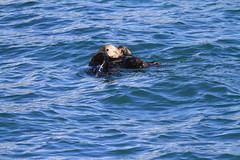 Sea Otter-Kenai Fjords-201305281810--5 (pcbirdtw) Tags: usa alaska seaotter kenaifjords