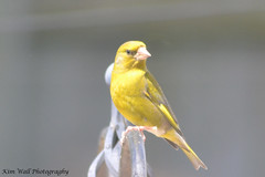 Greenfinch_13062013_1a (Kim Wall Photography (Purplesun2001)) Tags: somerset greenfinch nyland kimwallphotography
