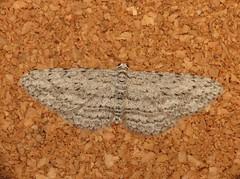 Phelotis cognata (dhobern) Tags: june australia lepidoptera geometridae ennominae act aranda 2013 cognata taxonomy:order=lepidoptera taxonomy:family=geometridae geo:country=australia phelotis taxonomy:binomial=phelotiscognata phelotiscognata taxonomy:genus=phelotis geocode:accuracy=15 geo:lon=1490834 geo:lat=352646