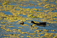 Old Coot, Young Coot 2 (LongInt57) Tags: family blue red orange canada black green nature water birds yellow swimming parents bc feeding eating okanagan wildlife families ducks floating ducklings chicks kelowna ponds coots