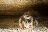 Jumping Spider-6835 (RAWctopus - Jeremy Smith) Tags: brown macro oklahoma canon speedlight jumpingspider t3i kenko extensiontubes homemadediffuser 430exii edmondoklahomajumping spiderbrowncanont3ikenkoextensioedmond