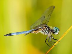 Dragonfly's-2 (4myrrh1) Tags: usa reeds virginia pond unitedstates dragonfly colorfull richmond va