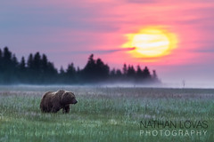 Brown bear in meadow at sunrise-2249-Lovas.jpg (Nathan Lovas Photography) Tags: ocean pink sea usa sun mist nature animals fog alaska sunrise mammal outdoors purple pacific outdoor unitedstatesofamerica meadow ak sunsets coastal land northamerica mammals carnivorous animalia mammalia saltwater carnivore moring carnivores vertebrate grizz grizzlies ursusarctos sedge vertebrates grizzlybears ursidae brownbears chordate chordates chordata vertebrata alaskaakusaunitedstatesofamericanorthamericaland coastaloceanpacificseasaltwatersaltwater alaskaakusaunitedstatesofamericanorthamericalandoutdooroutdoorsnature brownbearsgrizzlybearsgrizzliesgrizzbrownbearscarni brownbearsgrizzlybearsgrizzliesgrizzbrownbearscarnivorescarnivorouscarnivoreursidaeursusarctosmammalmammalsmammaliavertebratavertebratevertebrateschordatechordateschordataanimalsanimalia