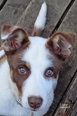 Jackpot puppy 130628-070121 C4VCTc (Wambeke & Wambeke Photography, Art, & Textiles) Tags: dog puppy brownandwhitedog ranchpuppy jackpotpuppy