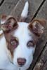 Jackpot puppy 130628-070121 C4VCTc (Wambeke & Wambeke Photography, Art, & Textiles) Tags: puppy brownandwhitedog dog jackpotpuppy ranchpuppy charliewambekephotography wambekewambeke wambekewambekephotographyarttextiles canonpowershotsx30photograph