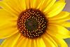 Sunflower Yellow (wyojones) Tags: flower sunflower wildflowers wyoming np cody roadside wildflower wyojones