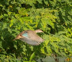Duck just taking flight! (Rick Smotherman) Tags: wood trees nature water leaves birds canon outdoors morninglight pond flight august 7d birdsinflight buschwildlife canon300mmf4l missouribirds canon7d canon14teleconverter