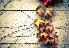 Leaf Vine on the Wall (Orbmiser) Tags: red brown green leaves wall oregon portland leaf vines nikon summmer 28105mm d90 afd f3545 nikon28105mmf3545afd