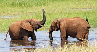Elephants in a watering hole