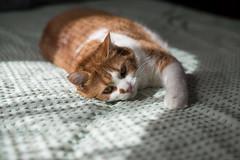 NCB_8593.jpg (Our Poopy Pants) Tags: hairy pet cats cat fur furry kat feline chat kitty whiskers gato kitties meow katze paws puss kot gat koka kass katt kato kissa maka paka  furballs katu conmo