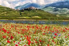 Castelluccio di Norcia, prati fioriti (forastico) Tags: fiori umbria castelluccio d60 prati castellucciodinorcia forastico