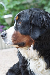 Icetea (Katrin Kind) Tags: dog mountain olympus hund 18 45mm berner bernese sennenhund