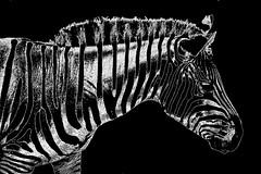 donkey with stripes (Wackelaugen) Tags: blackandwhite bw white black art nature animal canon photography eos photo blackwhite spain artwork europe explore zebra mallorca googlies explored safarizoo wackelaugen