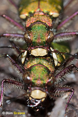 Tiger Territory (Dom Greves) Tags: uk sex insect spring wildlife may dorset mating aggression invertebrate heathland behaviour cicindelacampestris greentigerbeetle