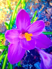 Crocus in the Sun (Scorpiol13) Tags: flowers flower nature floral beauty sunshine garden petals spring purple bright blossom sunny crocus bloom delicate fragile sheer