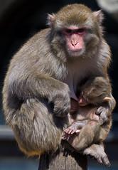 Lactation period (Osdu) Tags: portrait nature animal animals monkey wildlife lactationperiod