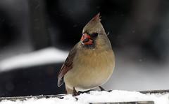 Snowbird (martytdx) Tags: winter home birds female cardinal nj songbird cardinaliscardinalis haddonfield cardinalis northerncardinal cardinalidae