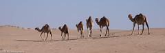 January Camping415.jpg (GFFW PHOTOGRAPHY) Tags: camping dubai desert uae unitedarabemirates ae 2015