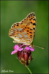 Issoria lathonia (alfvet) Tags: macro primavera nature nikon ngc butterflies natura npc farfalle sigma150 parcodelticino d5200 veterinarifotografi