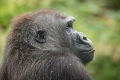2015-05-14-14h19m13.BL7R2784 (A.J. Haverkamp) Tags: germany zoo hessen gorilla frankfurt frankfurtammain dian dierentuin julchen westelijkelaaglandgorilla canonef100400mmf4556lisusmlens pobarnhemthenetherlands dob04011989 httpwwwzoofrankfurtde
