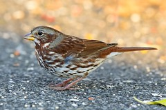 Bruant fauve 17T4822 (Ren Pelletier) Tags: bruant fauve fox sparrow passerella iliaca