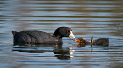 Coot parent feeding its chick (alicecahill) Tags: california usa wild wildlife atascadero sanluisobispocounty parent bird baby americancoot coot atascaderolake morning alicecahill animal