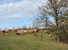 Lost treasure! (Jeannette Greaves) Tags: 2016 lost gold platted scissors hunt cows hugh jeannette valley dw farm cadeaudenormaronhoneymoomspain1972