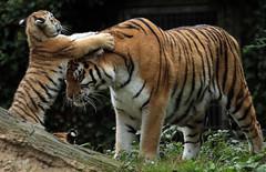 siberian tiger Duisburg JN6A7717 (j.a.kok) Tags: tijger tiger tigercub siberischetijger siberiantiger amoertijger amurtiger duisburg pantheratigrisaltaica cub cat predator