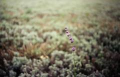 lavender (analogrem) Tags: lavender lavandula purple flower herb meadow fields lavenderfield analog film lonely alone plant medicine bokeh swirly