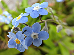 Star Shaped (sallyNZ) Tags: forgetmenots starshaped 52in2016 blue star ant scavenger18