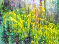 Autumn Impressions (Shannonsong) Tags: art intentionalblur goldenrod solidago wildflowers trees nature fall autumn yellow flowers blooms blossoms plants abstract