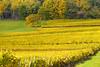 Quand la nature se pare de jaune (Excalibur67) Tags: nikon d750 sigma apo70200f28exdgoshsm paysage landscape vosgesdunord vignoble vigne automne autumn alsace jaune yellow arbres trees