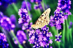 Butterfly (Ali Gersic) Tags: purple violet lavender butterfly nature