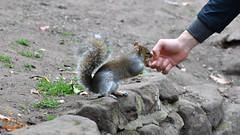 Tame Squirrel (jamesmerrington) Tags: chester england grosvenor park squirrel hand