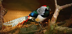 IMG_6401 Colourful pheasant (Rodolfo Frino) Tags: bird nature fauna pheasant birds color colour colors colours colorful colourful beautiful exotic exoticbird tropicalbird largebird