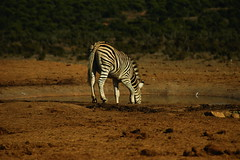 DSC03732 (Emily Hanley Photography) Tags: elephant elephants addo elephantpark nationalpark sa southafrica africa photography colour warthogs buffalo zebra waterhole rawimages raw nature naturalphotography animals animal