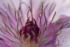Flower (michel1276) Tags: flower blume clematis macro makro blte